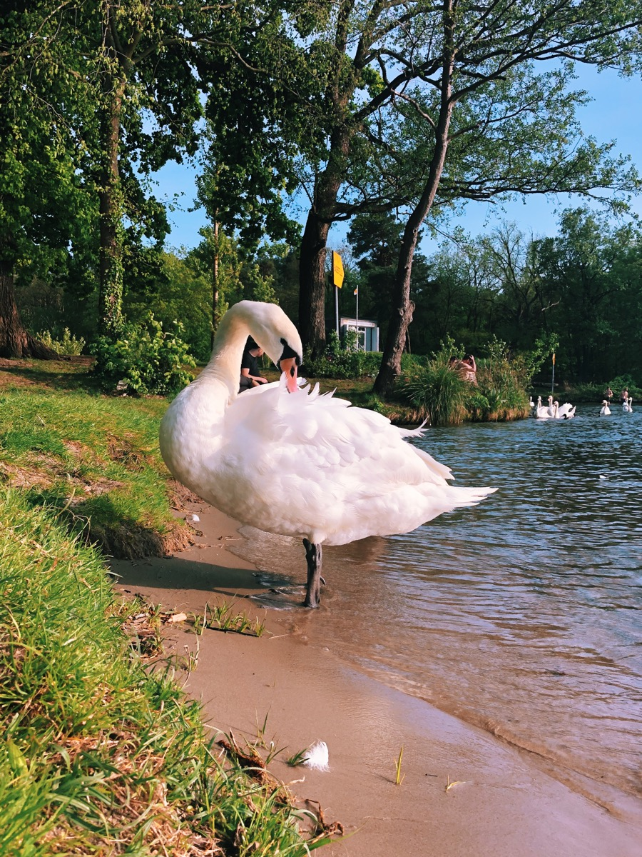 A German swan is posing